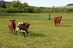 Mucche felici Fotografia Stock