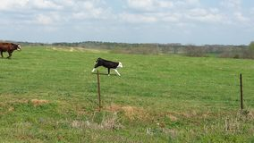 Mucche felici Immagini Stock