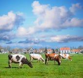 Mucche felici che mangiano erba Fotografia Stock