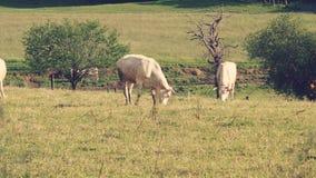 Mucche felici in primavera Fotografia Stock Libera da Diritti