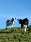 Mucche fissare Fotografie Stock