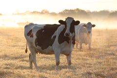 Mucche in foschia gelida di mattina. Immagine Stock