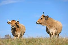 Mucche francesi di Aubrac immagine stock libera da diritti
