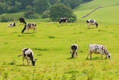 Mucche frisoni che pascono Immagine Stock Libera da Diritti
