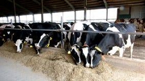 Mucche frisoni del diario dell'Holstein nella stalla libera del bestiame video d archivio