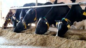 Mucche frisoni del diario dell'Holstein nella stalla libera del bestiame archivi video