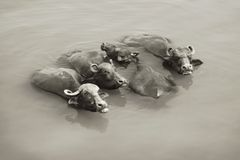 Mucche a Gange - Varanasi, India Fotografia Stock Libera da Diritti