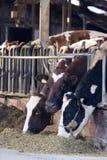 Mucche in granaio immagine stock
