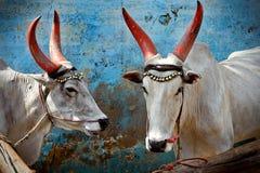 Mucche indiane fotografie stock