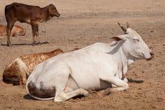 Mucche indiane sante sulla sabbia Fotografie Stock Libere da Diritti