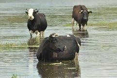 Mucche in insetto del fiume Immagini Stock Libere da Diritti