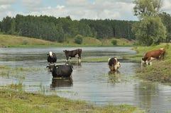 Mucche in insetto del fiume Fotografia Stock