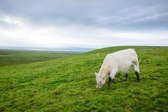 Mucche irlandesi che pascono Fotografia Stock Libera da Diritti