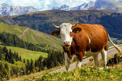 Mucche italiane su un pascolo 2 Immagine Stock