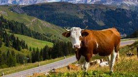 Mucche italiane su un pascolo Immagine Stock Libera da Diritti