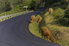 Mucche in La Coruna, Spagna di Cedeira immagini stock libere da diritti