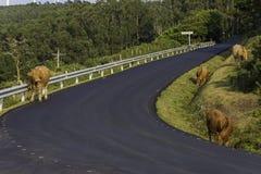 Mucche in La Coruna, Spagna di Cedeira immagine stock