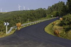 Mucche in La Coruna, Spagna di Cedeira immagini stock