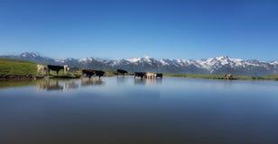 Mucche in lago freddo immagini stock
