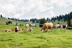 Mucche libere del bestiame al pascolo libero sul pascolo di verde dell'alta montagna Immagini Stock