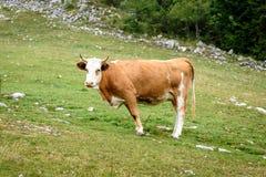 Mucche libere del bestiame al pascolo libero sul pascolo di verde dell'alta montagna Fotografia Stock