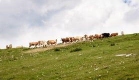 Mucche libere del bestiame al pascolo libero sul pascolo di verde dell'alta montagna Fotografia Stock Libera da Diritti