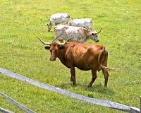 Mucche lunghe del corno Fotografie Stock Libere da Diritti