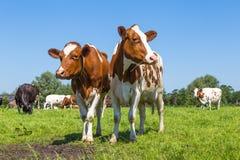 Mucche marroni curiose nel campo fotografie stock