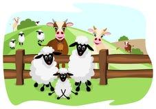 Mucche marroni sveglie e pecore bianche sul pascolo Immagini Stock