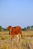 Mucche marroni tailandesi nel giacimento del riso Fotografie Stock