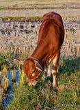 Mucche marroni tailandesi nel giacimento del riso Fotografia Stock Libera da Diritti