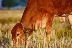 Mucche marroni tailandesi nel giacimento del riso Immagini Stock