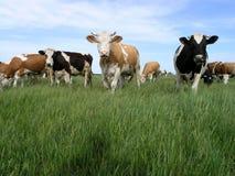 Mucche Milch Immagine Stock