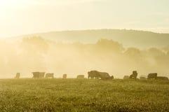Mucche in Misty Morning Sunrise fotografia stock