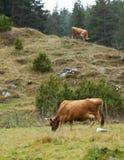 Mucche in montagna Immagini Stock Libere da Diritti