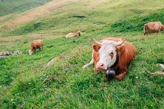 Mucche in montagna svizzera Grindelwald delle alpi in primo luogo Immagine Stock Libera da Diritti