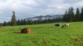 Mucche in montagne occidentali di Tatras Fotografia Stock