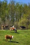 Mucche in natura Fotografia Stock Libera da Diritti