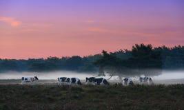 Mucche nebbiose fotografia stock libera da diritti