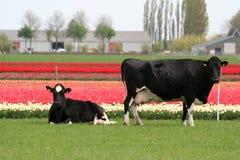 Mucche nei campi della lampadina e del prato nei precedenti Fotografie Stock