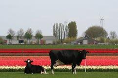 Mucche nei campi della lampadina e del prato nei precedenti Immagini Stock Libere da Diritti