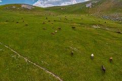 Mucche nei campi verdi del amountain ad estate Immagini Stock