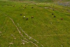 Mucche nei campi verdi del amountain ad estate Fotografie Stock
