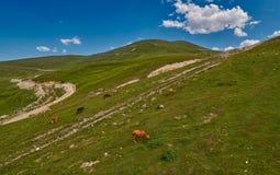 Mucche nei campi verdi del amountain ad estate Immagine Stock