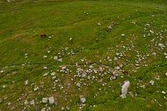 Mucche nei campi verdi del amountain ad estate Immagini Stock Libere da Diritti