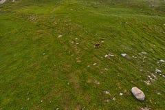 Mucche nei campi verdi del amountain ad estate Fotografia Stock