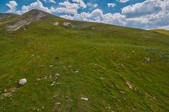 Mucche nei campi verdi del amountain ad estate Fotografia Stock Libera da Diritti
