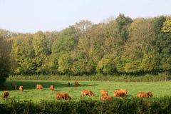 Mucche nel campo immagine stock
