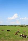 Mucche nel campo Fotografie Stock Libere da Diritti