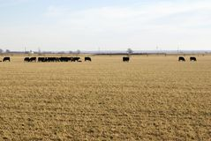 Mucche nel campo Immagine Stock Libera da Diritti